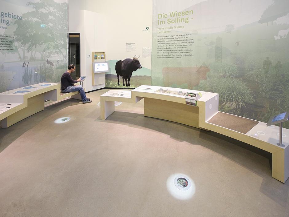 Museumsgestaltung. Ausstellungswand, Sitzgelegenheit, Büffel.